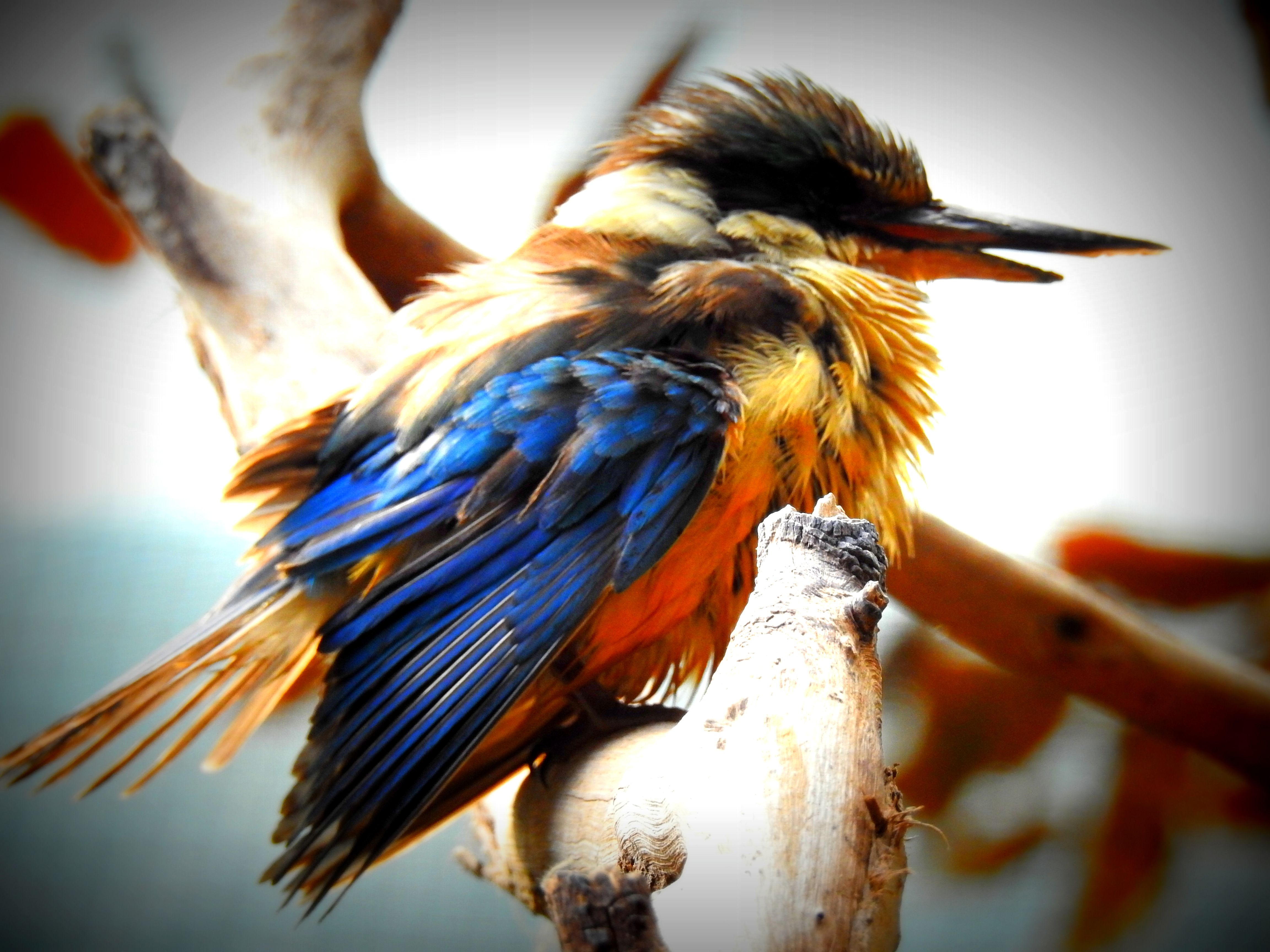 Colourful Bird With Scruffy Feathers Bird Photography Perth