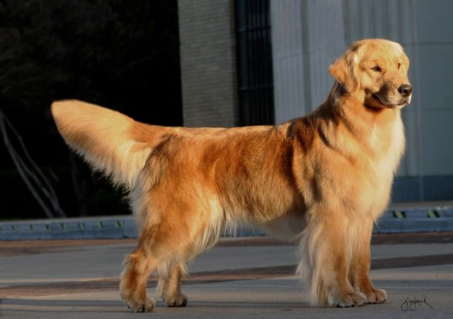 Mystic S Mom Groovy Golden Retriever Beautiful Dogs Breeds