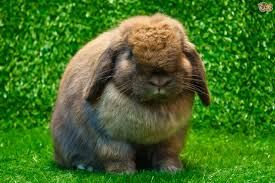 Image result for rabbits as pets