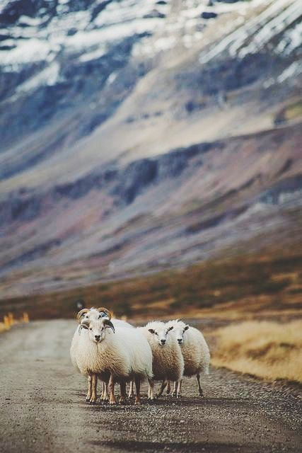 Sheep In The East Fjords Iceland Binatang Islandia Dan Fotografi