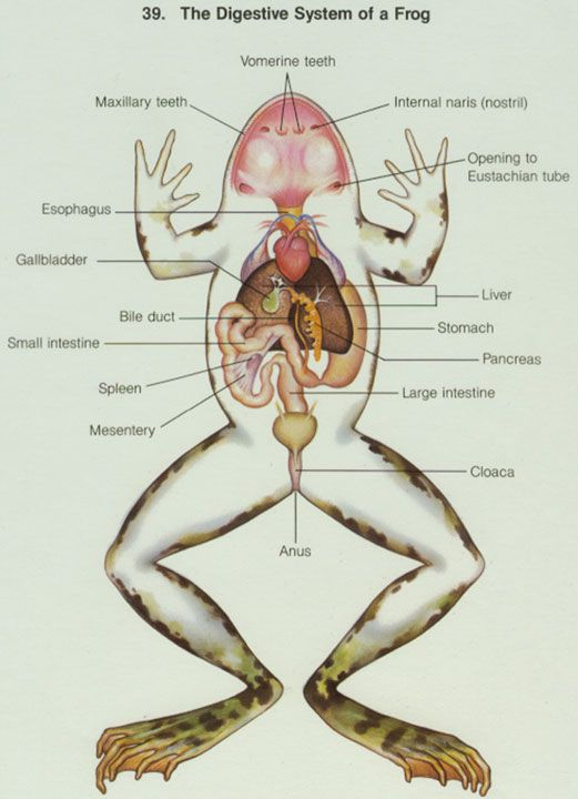 Frog digestion fun with anatomy and other possibly related things frog digestion ccuart Images