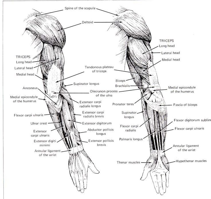 arm muscles anatomy coloring pages | dpt | pinterest | coloring, Human Body
