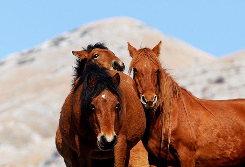 Horses, Velebit, Croatia