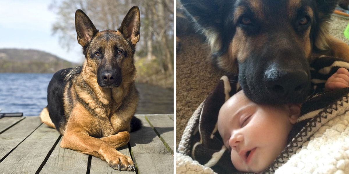 15 Reasons Why German Shepherd Dogs Make Terrible Family Dogs
