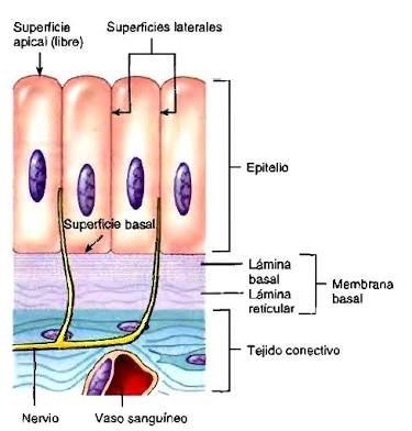 Anatomía y fisiología humanas- tejido epitelial En esta imagen se ...