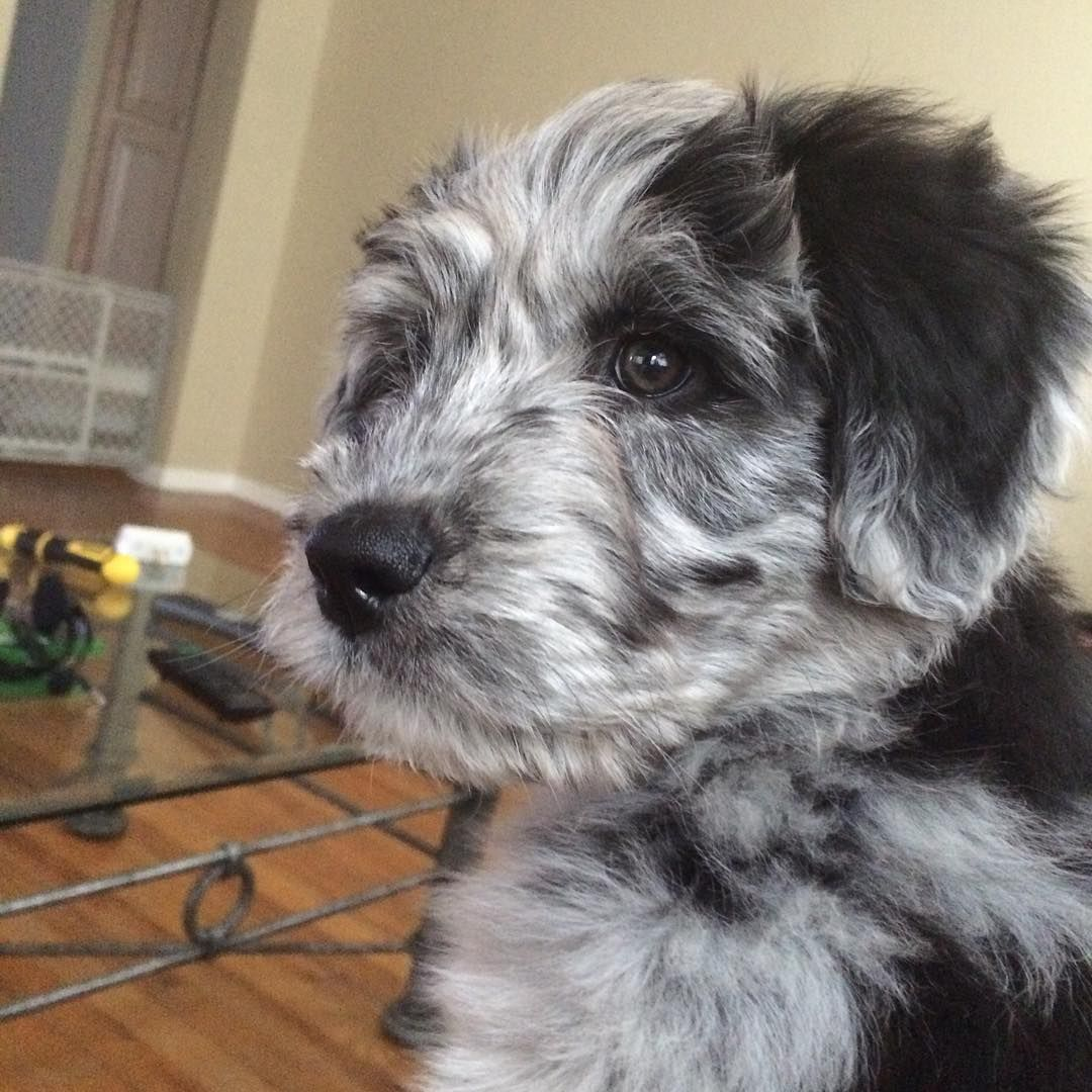 Baby Aussiedoodle Poodle Mix Dogs Aussiedoodle Puppies