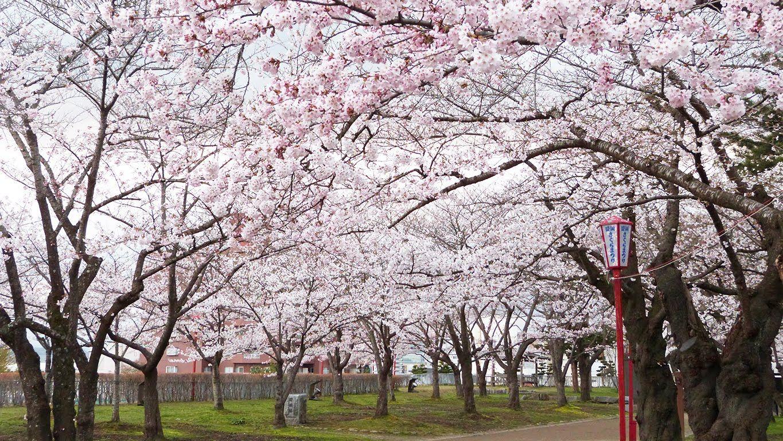 「岩手公園 桜」の画像検索結果