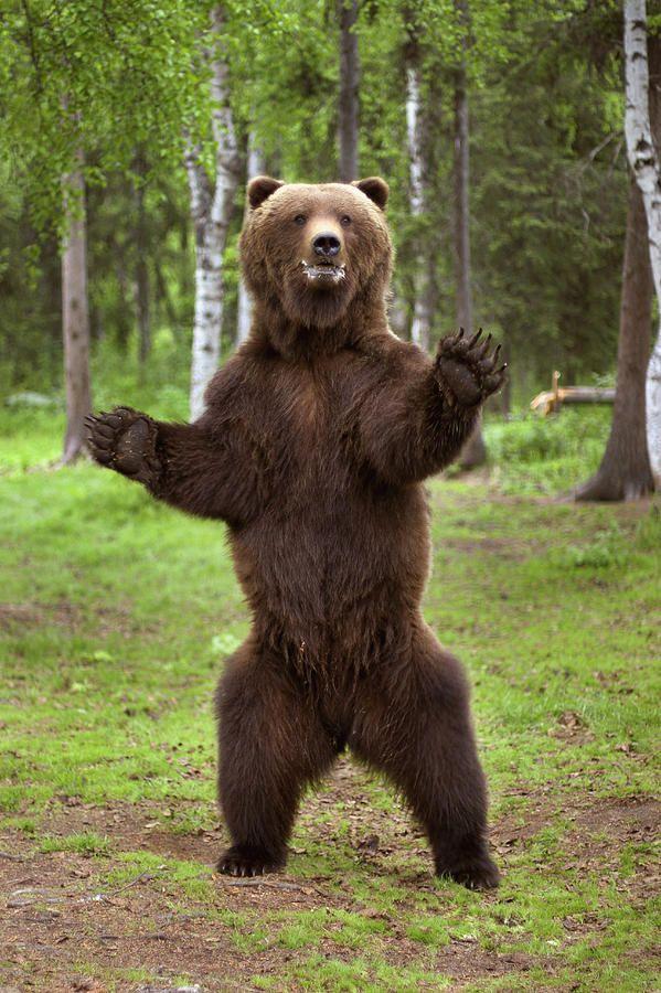 Brown Bear Standing On...