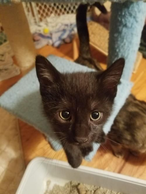 Lilly S Cricket Kitten Pet Finder Australian Cattle Dog Kitten