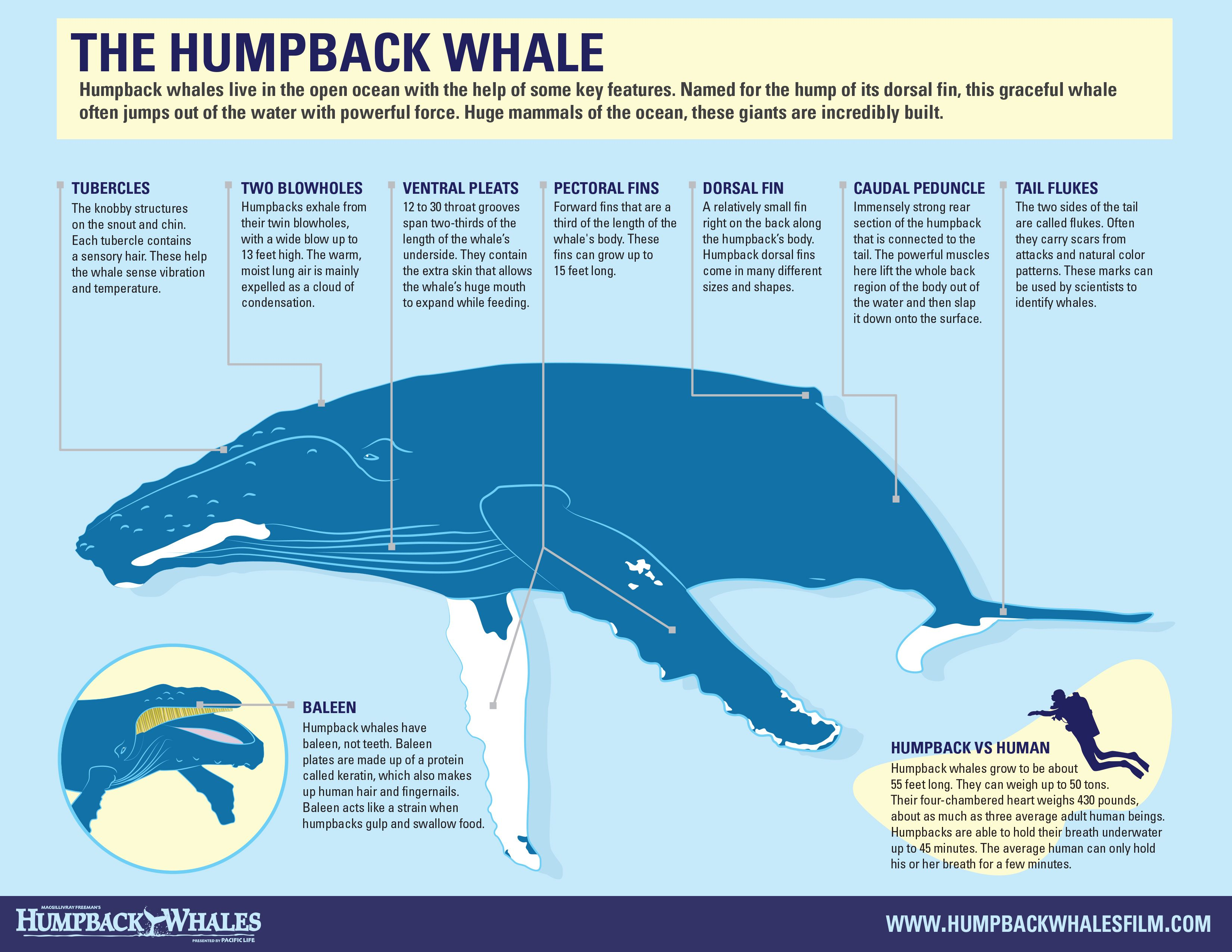 Infographic  The Humpback