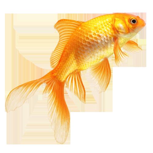 52hz Funk Pet Fish Goldfish Art Fish