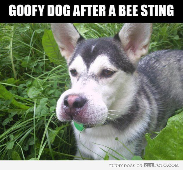 Dog Stung By Bee Looks Like Goofy