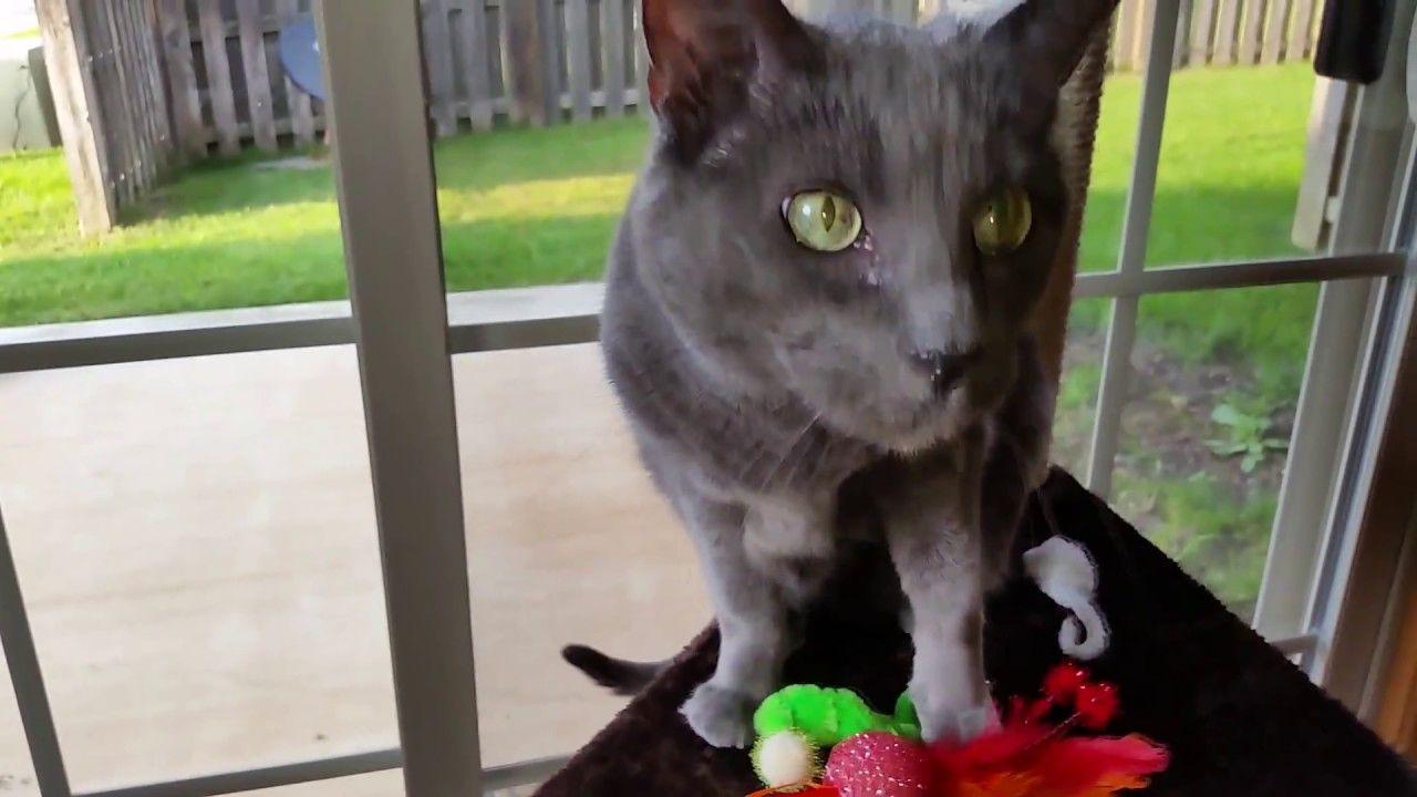 Jericho on the New Cat Tree