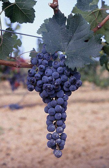 2 Year Organic COMBINED SHIPPING White Wine Grape Plant //Vine 1 PRAIRIE STAR