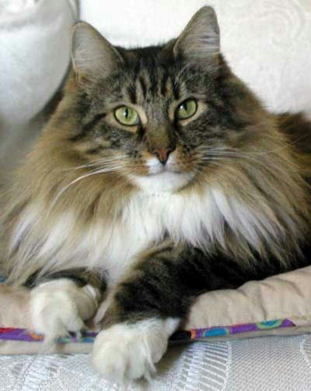 Pin by Dianne Finnegan on other cats Norwegian forest