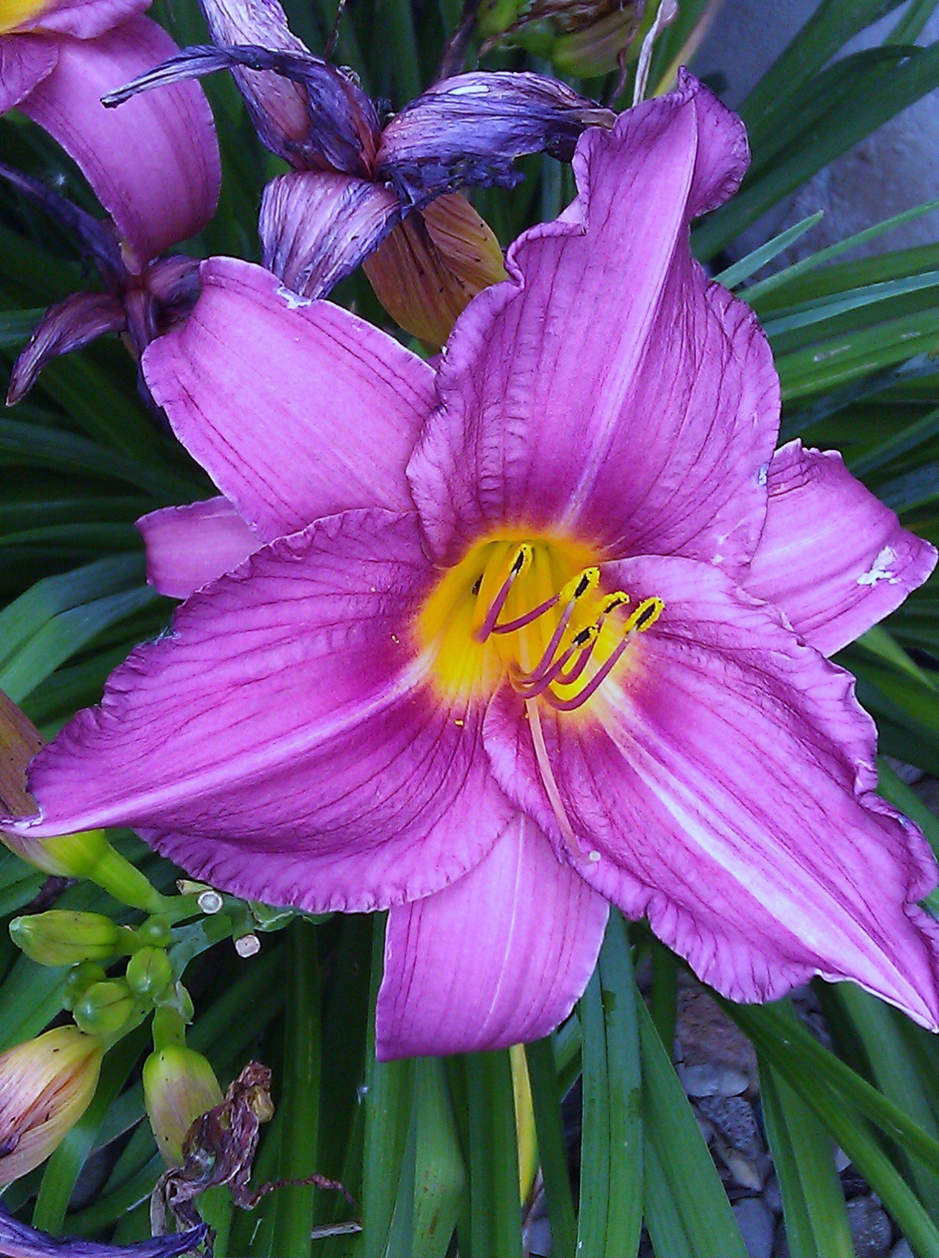 Purple lilys love these flowers landscape pinterest flowers purple lilys love these flowers izmirmasajfo