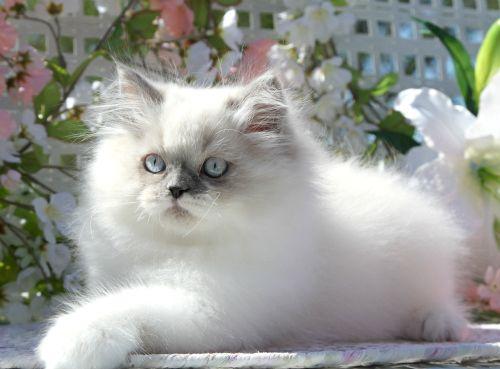 Himalayan Kittens For Sale Himalayan Kitten Pics Of Cute Cats Himalayan Cat