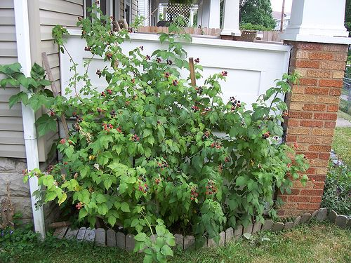 Raspberry Bush In Landscaping With Images Urban Backyard