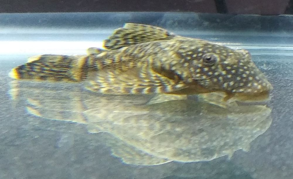 Bushynose Plecos 2 Inches 10 For 50 W Free Shipping Plecostomus Species Fish Pet