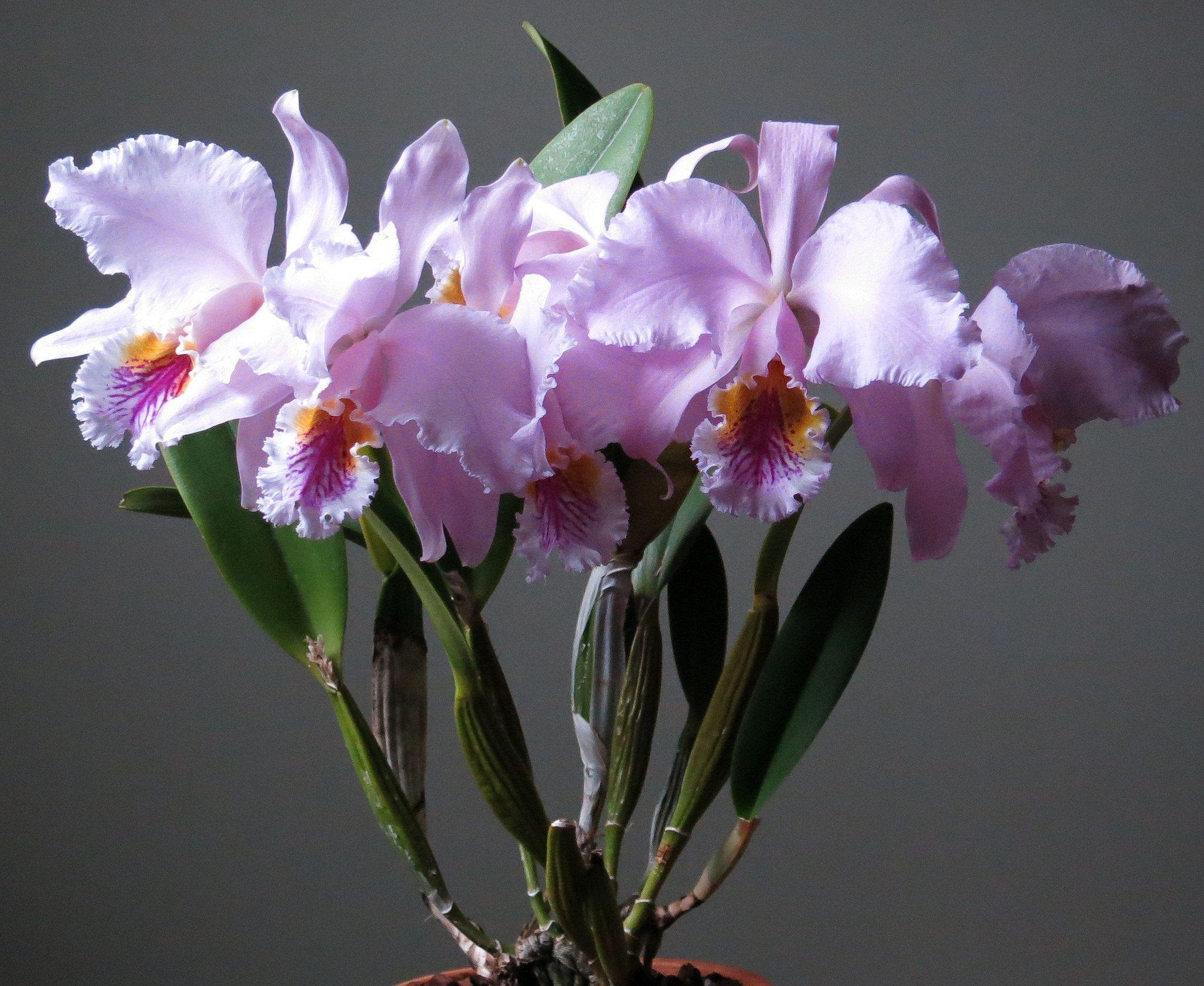 Cattleya Mossiae Orquideas Plantas Macetas