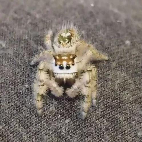Phidippus otiosus juvenile UNSEXED (Canopy Jumping Spider