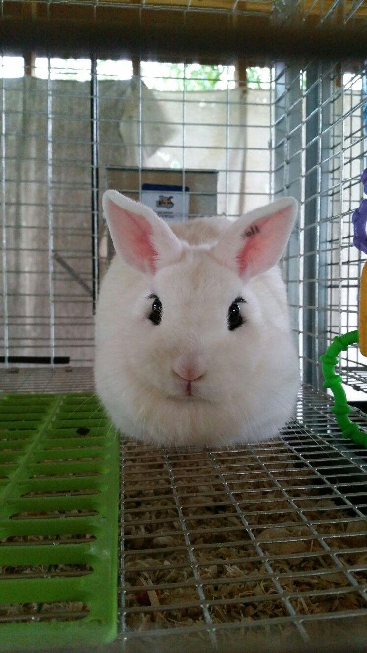 White bunny,  dwarf hotot's