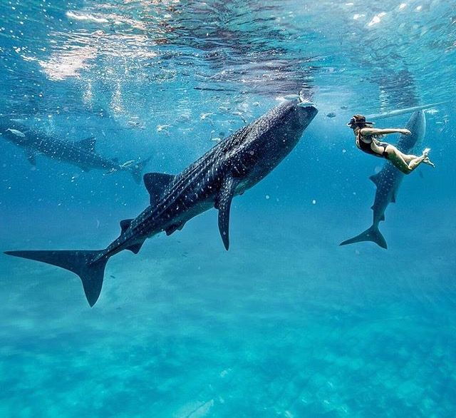 Oslob Cebu Philippines Swimming With Whale Sharks Adventure In