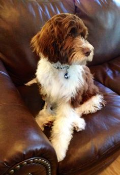 Portuguese Water Dog Wavy Hair White And Brown Google Search Portugese Water Dogs Portuguese Water Dog Water Dog