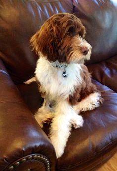 Good Looking Boykin Spaniel Dark Curly Hair And Light Amber Eyes Dog Breeds Dogs Cocker Spaniel Puppies