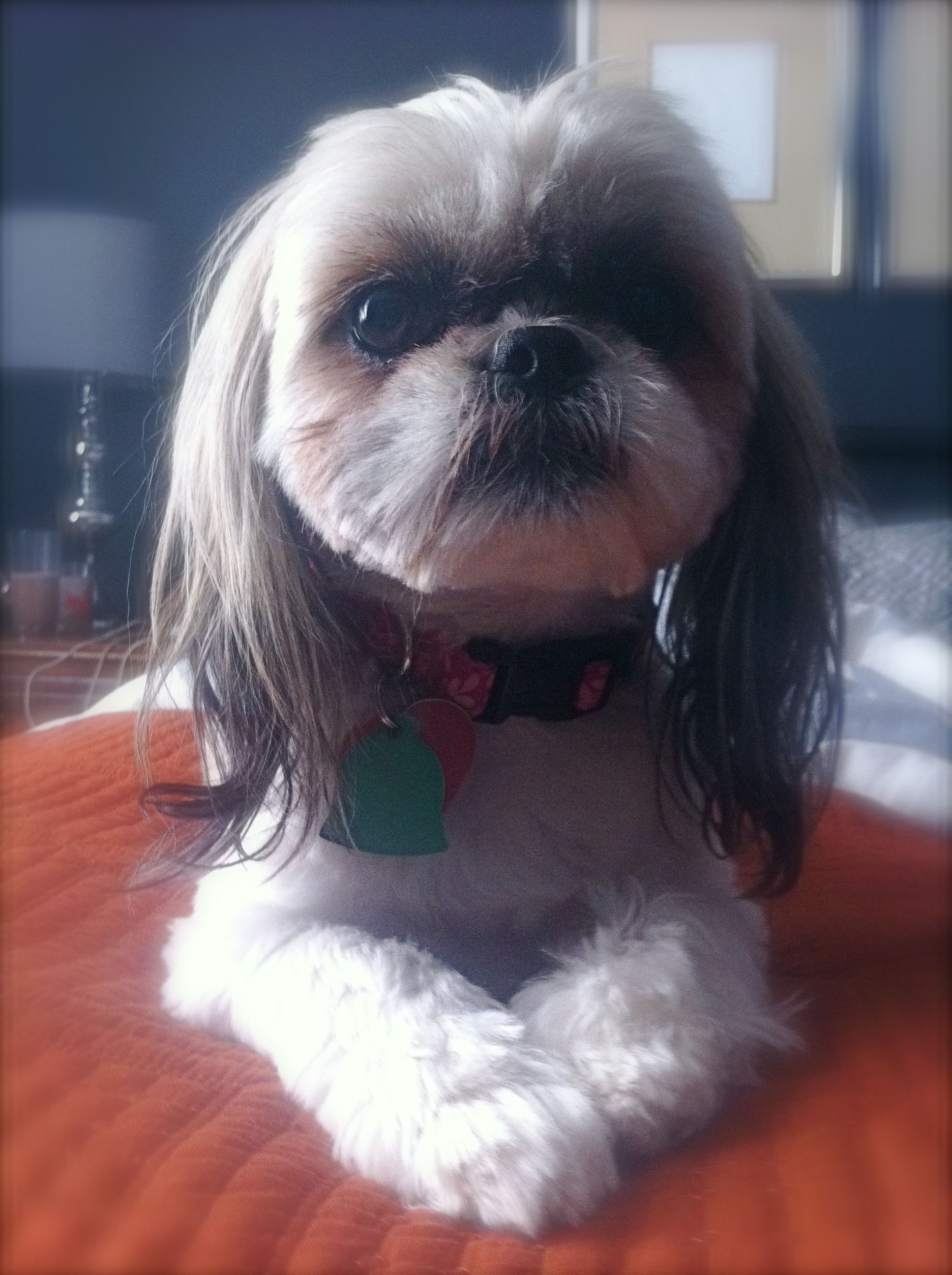 what does a shih tzu dog look like looks like my shih tzu quot lulu quot such a sweetheart 9618