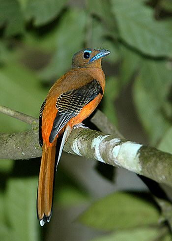 Trogons of SE Asia