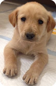 La Mirada Ca Golden Retriever Mix Meet Mollie A Puppy For
