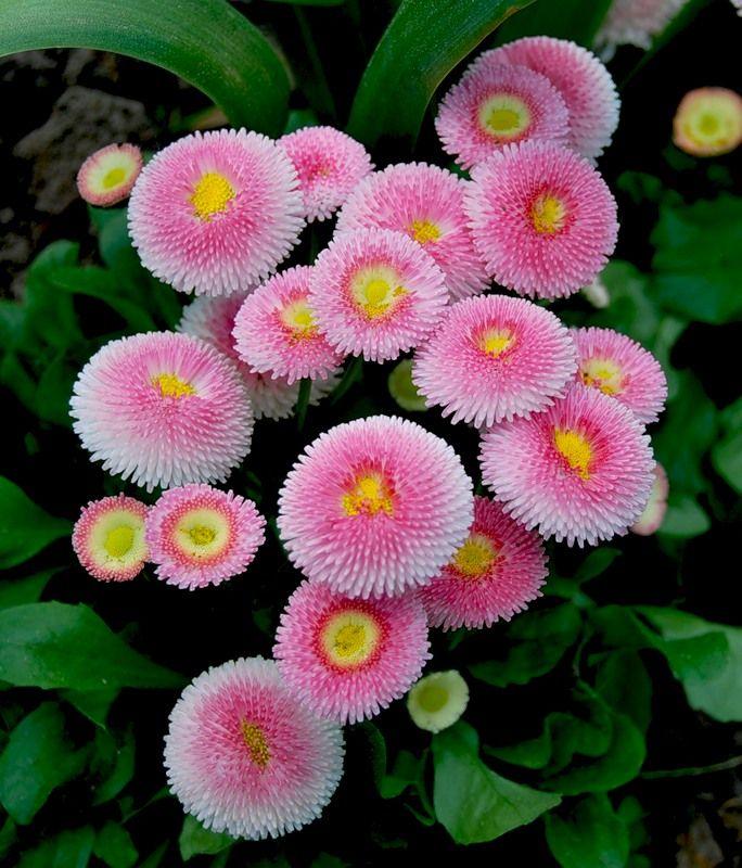 english daisy bellis perennis hermosas
