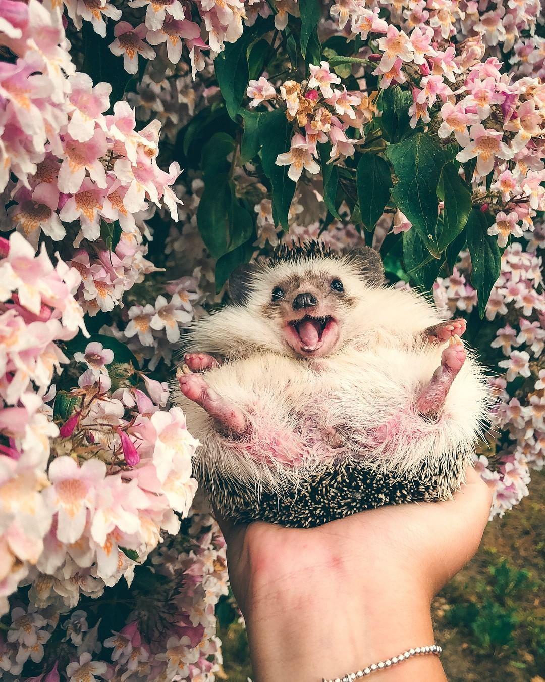 Mr Pokee Having The Best Time Hedgehog Hedgehogs Animals Ohhdeer Cuteanimals Cute Funny Animals Cute Baby Animals Baby Animals Pictures