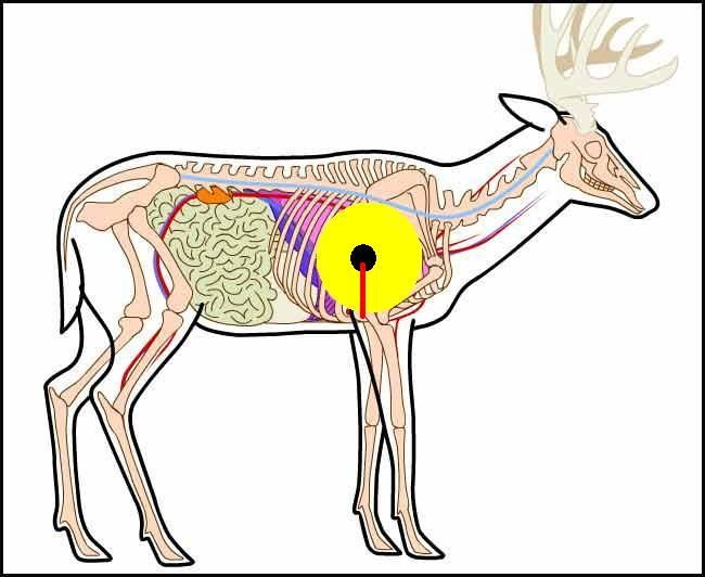 Deer anatomy the vitals art instruction pinterest anatomy deer anatomy the vitals ccuart Choice Image