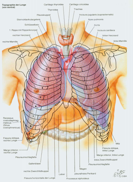 Topography of the lungs | Macroscopic anatomy | Pinterest | Lungs