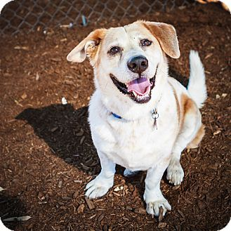 Phoenix, AZ Hound Mix. Meet CENA, a dog for