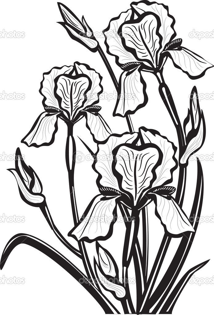 Croquis de fleurs d 39 iris illustration 5346645 d ssins - Modele dessin fleur ...