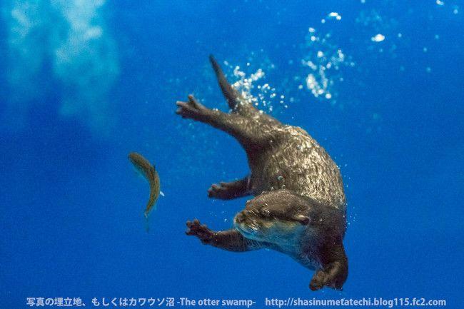 Underwater Otter Reach...