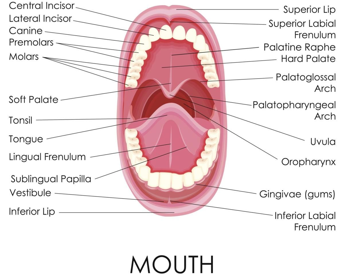 Labelled Diagram Of Human Mouth Cpc Exam Review Digestive System