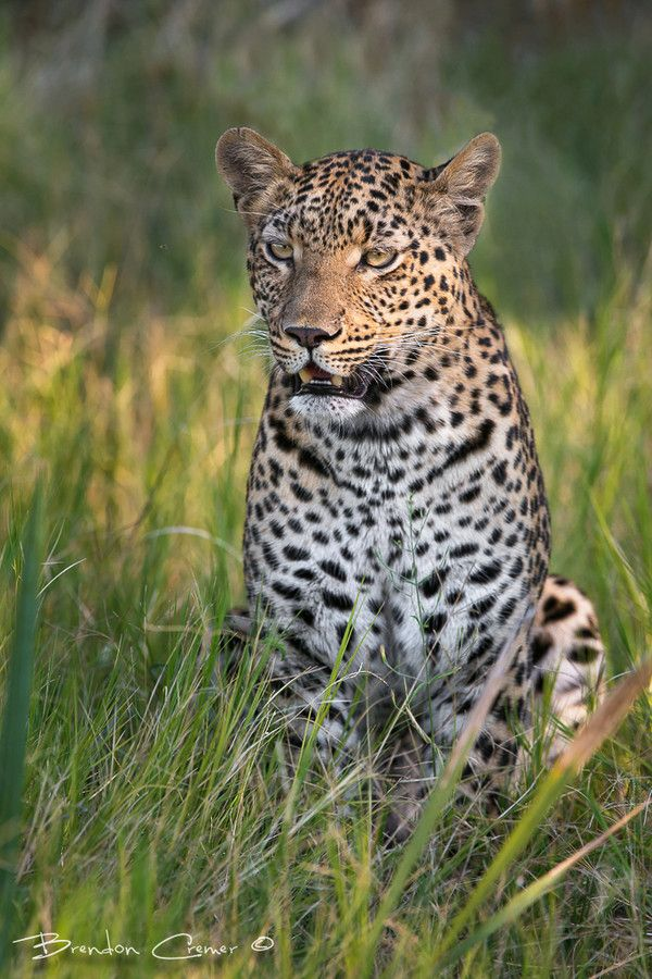 Leopard by Brendon Cremer on 500px