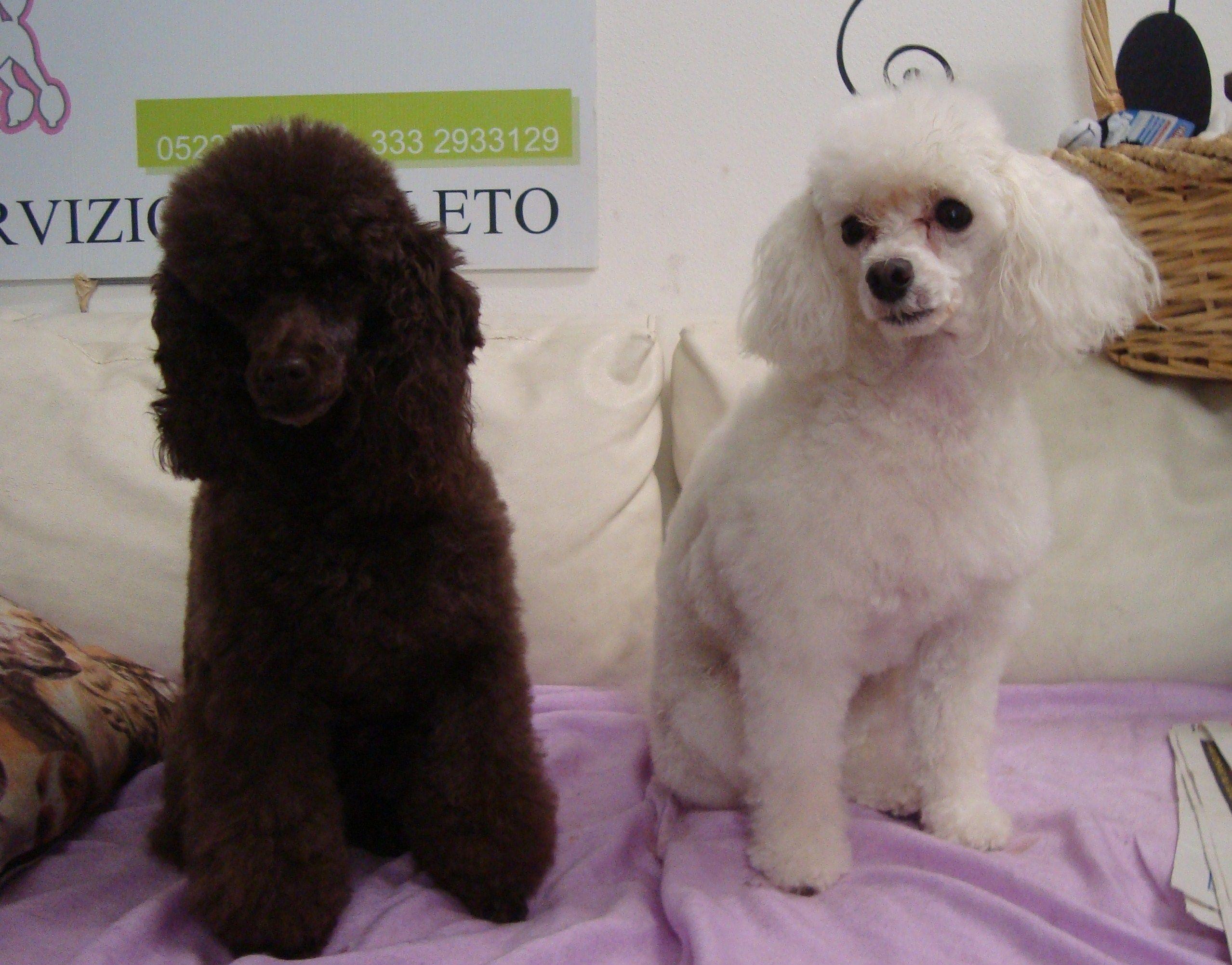 Toelettatura Cocker ~ Barboncini toy a fashion dog barboni pinterest dog