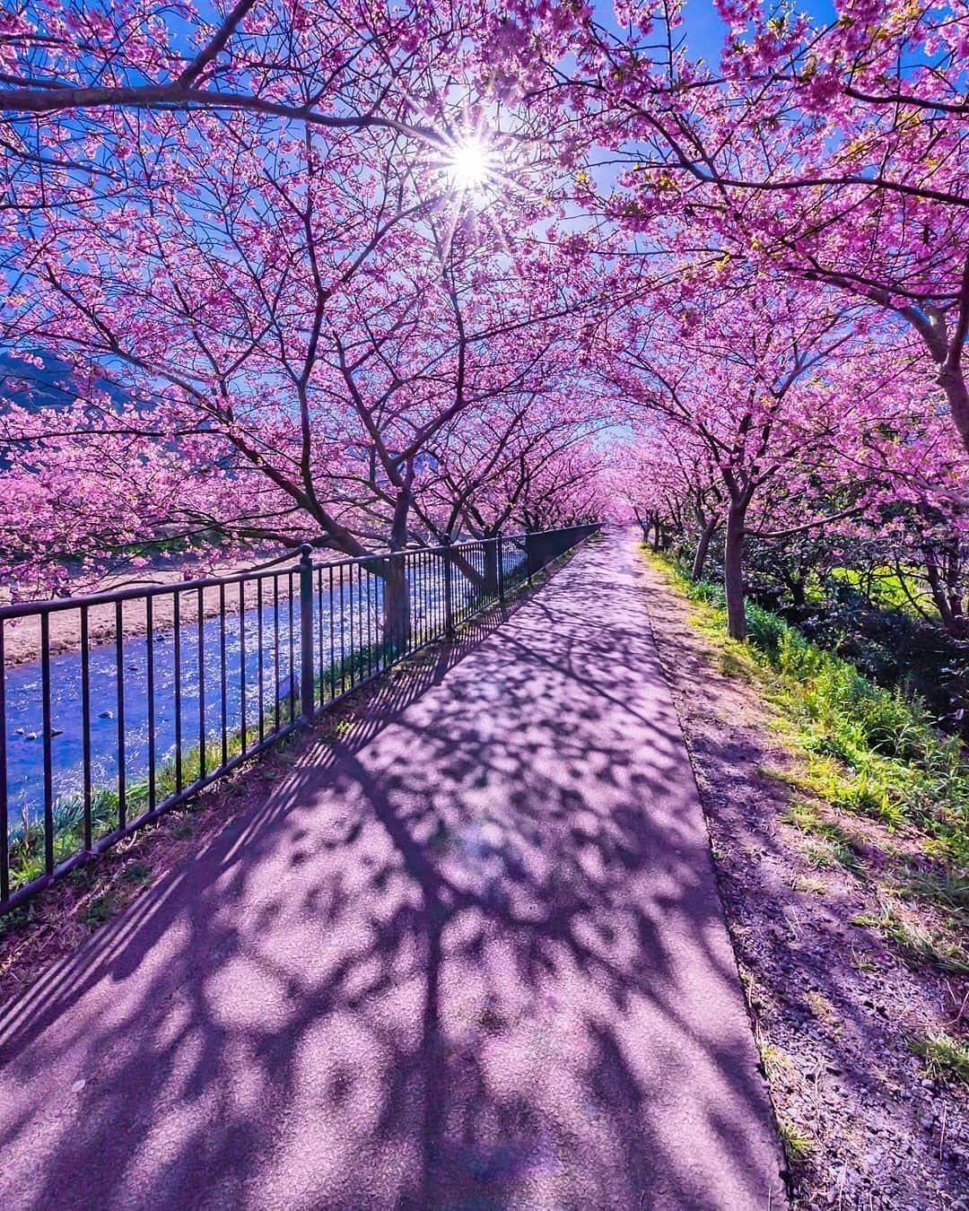 Cherry Blossoms Tunnel Kawazu Japan Photo By Tsumizo World Of Flowers Beautiful Nature Nature Photography Path To Heaven