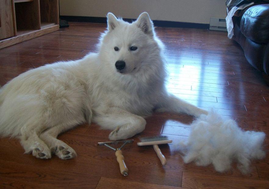 Samoyed Grooming