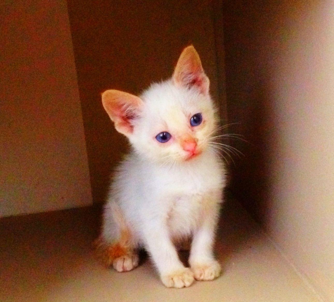 Flame point siamese kitty