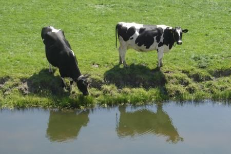 There are so many cute cows in North Holland!