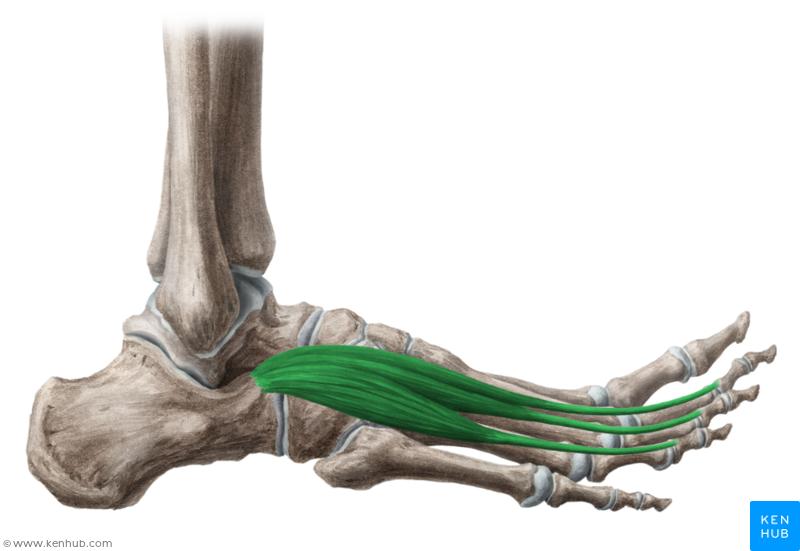 Extensor digitorum brevis muscle (Musculus extensor digitorum brevis ...