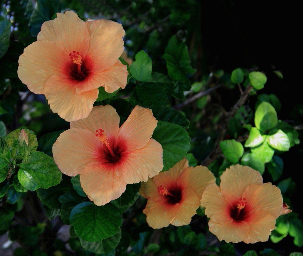 "hibiscus flowers ""Google"" paieška Hibiscus, Hibiscus"