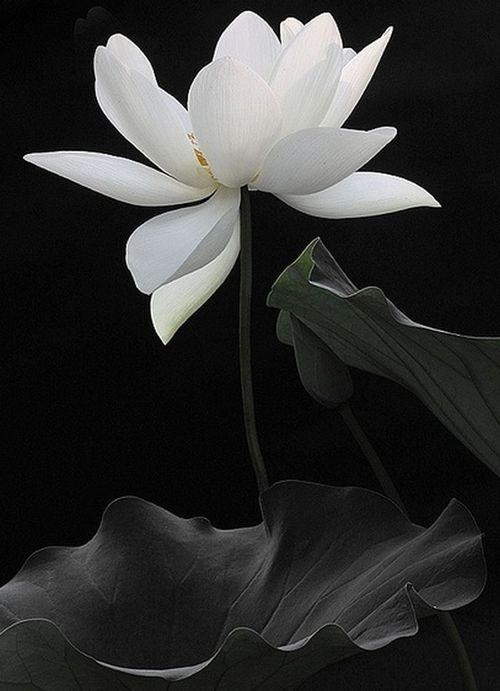 White lotus bahman farzad httpflickrphotos21644167 white lotus bahman farzad httpflickrphotos21644167n04 mightylinksfo