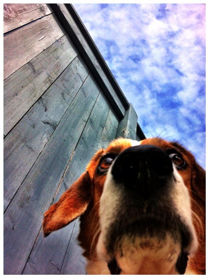 Vizsla Chihuahua Mixed Short Coat Dog Violet In Acton Ca